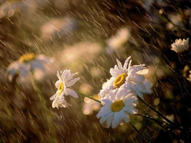 Flowers in Rainy Season Seen On www.coolpicturegallery.us