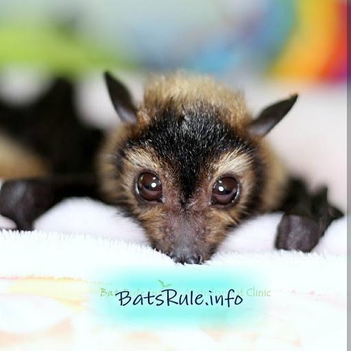 INFO ON BATS Microbats & Megabat, Flying fox, Fruit bat - cover