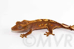 Boingo - Partial pinstripe crested gecko from moonvalleyreptiles.com