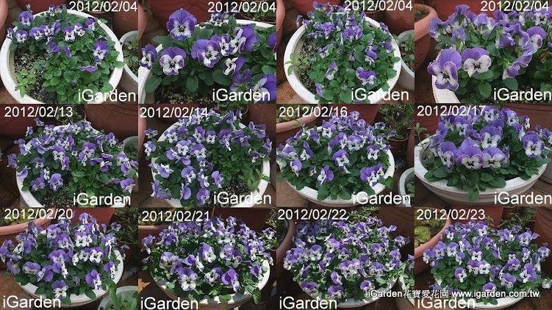 香堇菜雪貝青瓷藍開花 | iGarden花寶愛花園