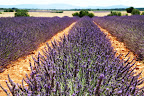 Lavender Field (July 2011, WineInProvence)