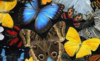 Mariposas de varios colores
