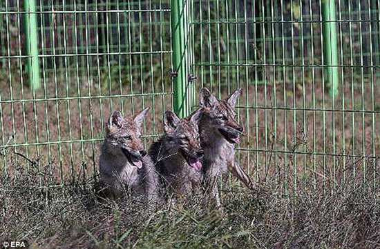 Hàn Quốc: Nhân bản thành công 8 con sói Bắc Mỹ
