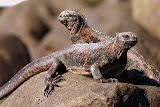 They Are Called Christmas Iguanas with Red and Green Skin