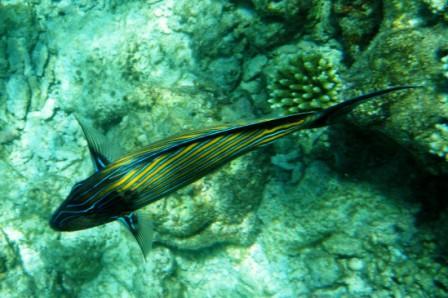 Peces en Maldivas