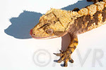 Gypsy - Tricolor Crested Gecko from moonvalleyreptiles.com