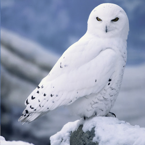 Snowy Owl And Pig images, pictures