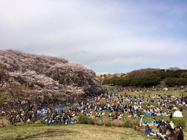 イノベーションの南: 横浜・根岸森林公園の桜が見事でした イノベーションの南 若者の街、渋谷で働
