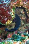 Labre merle mâle