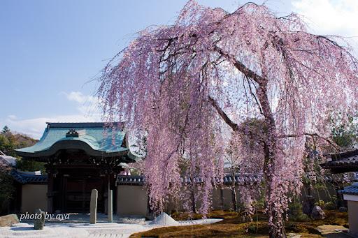 方丈前庭の枝垂れ桜