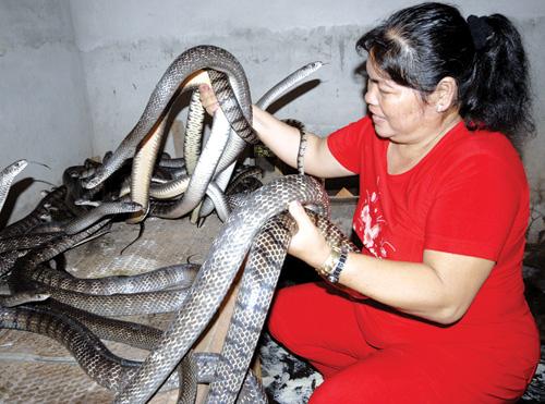Năm rắn - tản mạn về rắn: Rắn làm kinh tế kiếm hàng trăm triệu