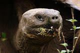 "Tortoises ""In the Wild"" in the Santa Cruz Highlands"
