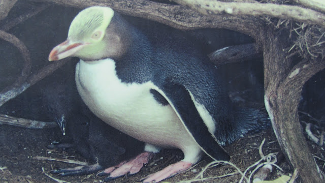 Close-up of a yellow-eyed penguin spotted at Curio Bay.