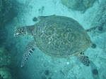 Very rare Hawaiian Hawksbill turtle