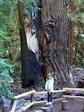 Meredith In Front Of HUGE Redwood, Muir Woods, California