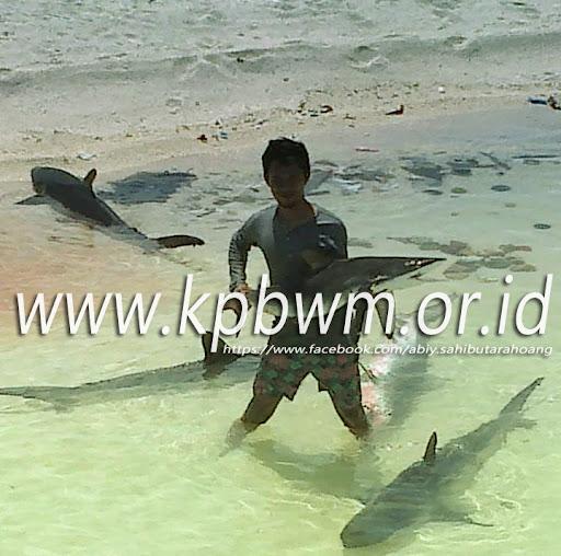 bermain dengan ikan hiu di pulau ambo mamuju sulbar