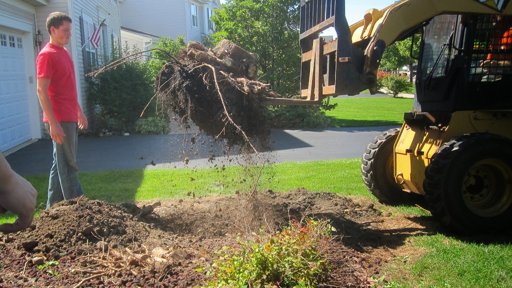 Evergreen tree root removal