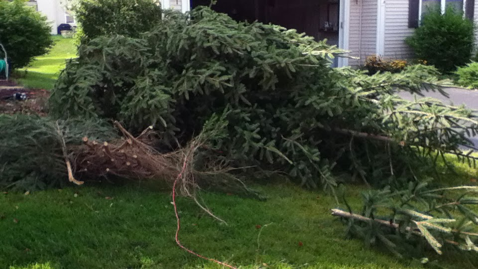 Fallen evergreen tree