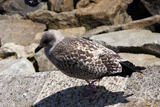A young Gull