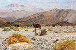 Oman - pierwszy wielbłąd