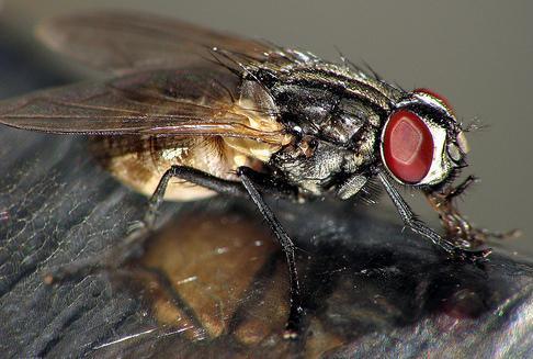 Foto de una mosca de perfil