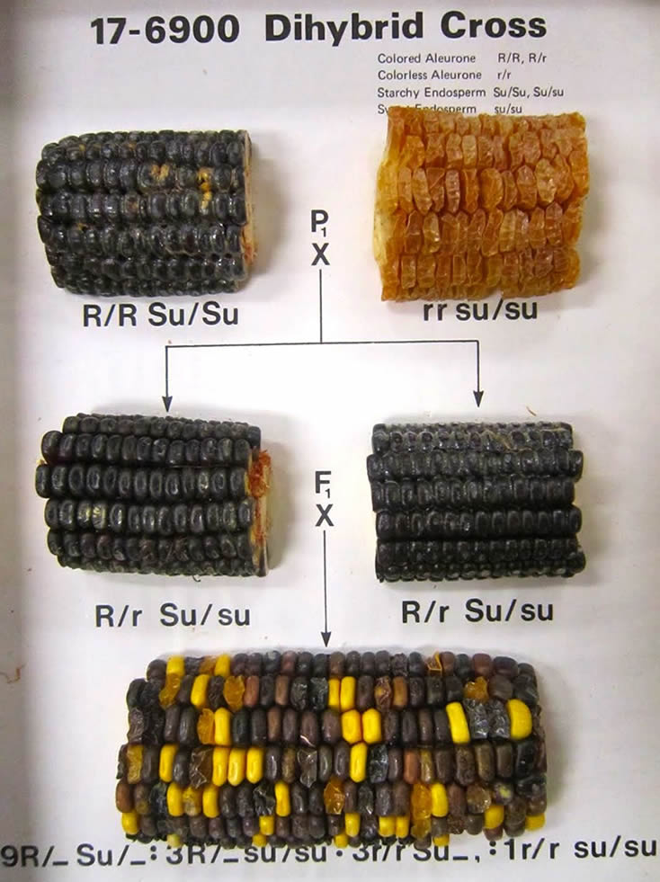 corn genetics lab report