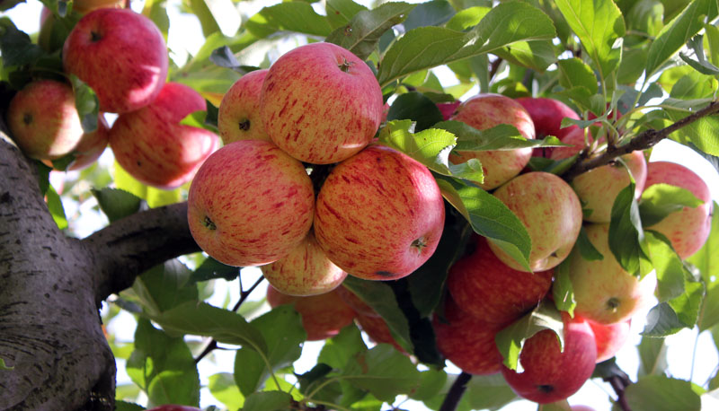 essay on apple fruit in marathi Essay on apple fruit, apple my favourite, , , translation, human translation, automatic translation.