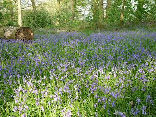 My first view of the Bluebells. There are thousands of them here and for the past few years I have been visiting them.