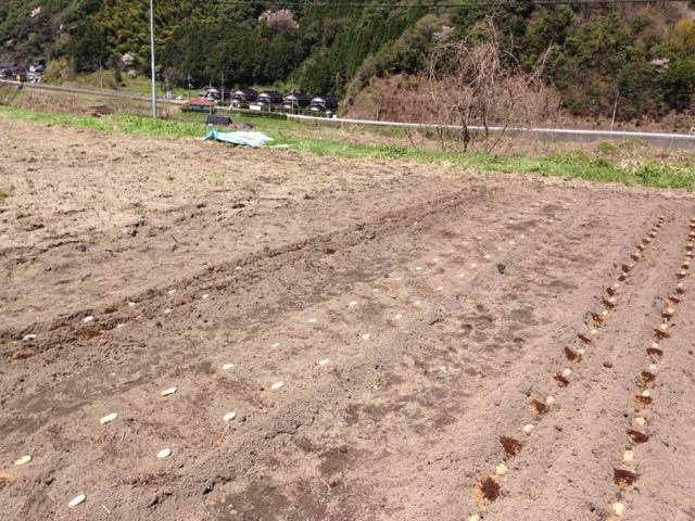 芋を植える2