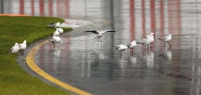 чайки на трассе Альберт-Парк на Гран-при Австралии 2013