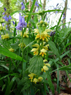 A yellow nettle by the Bluebells