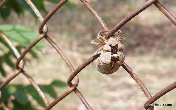 larvae casing