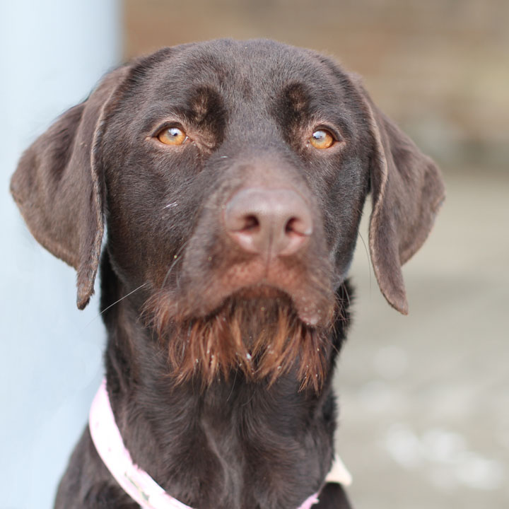 We Have Lab English Pointer And German Shorthaired Pointer Puppies ...