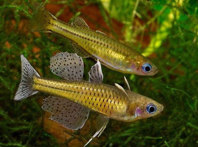 Gertrudae rainbow fish