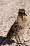 The Galapagos Mockingbird