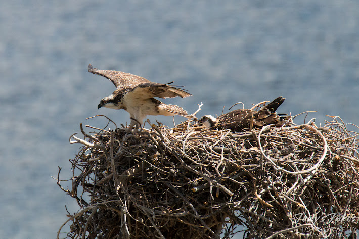 A juvenile Osprey spreads its wings and prepares to take one of its first flights. (© Tony's Takes)