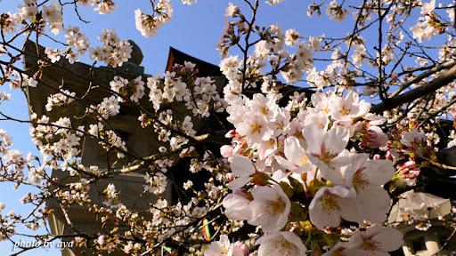 善光寺の桜1