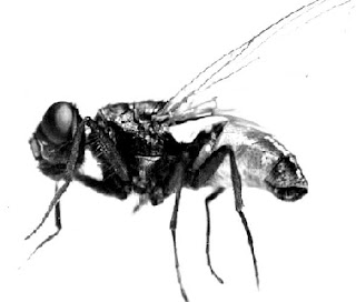 Imagen de la mosca en blanco y negro