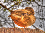 Stockente in HDR