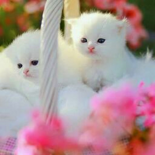 Homemade Thi... White Persian Kitten