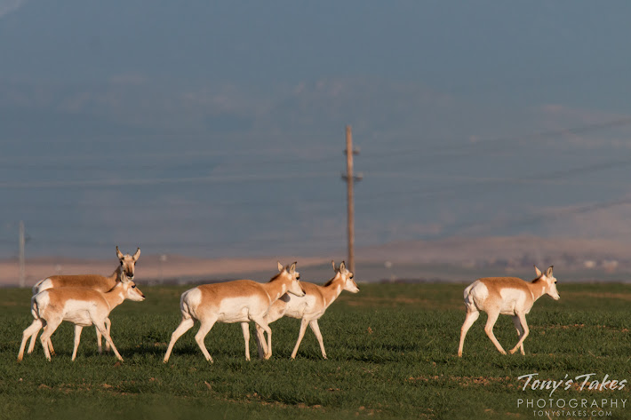 Pronghorn walk across an open field north of Denver, Colorado. (© Tony's Takes)