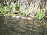 Alligator at Barefoot Landing in Myrtle Beach - 02