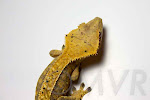 Bastard - Tricolor crested gecko from moonvalleyreptiles.com