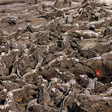 How Many Iguanas Can You Count in this Picture?