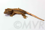 Rhizome - Pinstripe Crested Gecko from moonvalleyreptiles.com