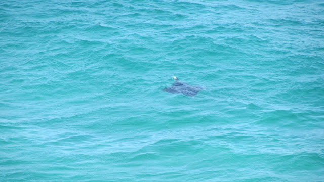 A large manta ray just off the beach.