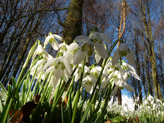 Snowdrops - some in shade!!