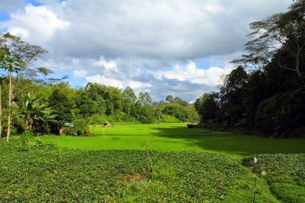 A Tana Toraja paddyfield landscape at Lemo