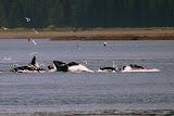 Humpback Whale Bubble Feeding - Juneau, AK