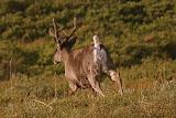 Caribou on the Run - Denali National Park, AK